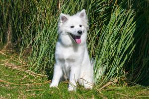 American Eskimo Puppy Sitting Near Tall Grasses by Zandria Muench Beraldo
