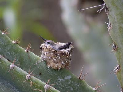 Baby Hummingbird in nest.