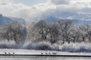 Canadian Geese, Rio Grande River, New Mexico by Zandria Muench Beraldo