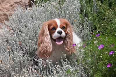 Cavalier Sitting in Flower Garden