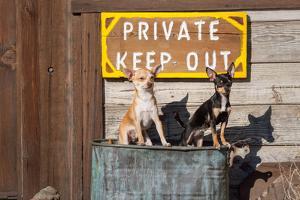 Chihuahua Guard Dogs by Zandria Muench Beraldo