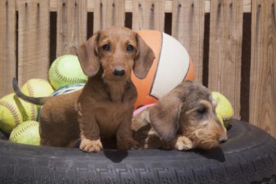 Dachshund puppies by Zandria Muench Beraldo
