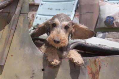 Dachshund puppy's ears flapping in the wind by Zandria Muench Beraldo