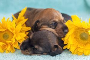 Doxen Puppies sleeping by Zandria Muench Beraldo