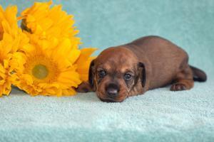 Doxen puppy MR, by Zandria Muench Beraldo