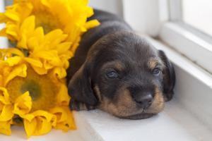 Doxen Puppy with sunflower by Zandria Muench Beraldo