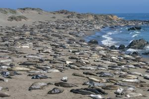 Elephant Seals on Beach, San Simeon, California by Zandria Muench Beraldo