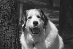 Great Pyrenees at the park. by Zandria Muench Beraldo