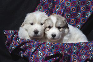 Great Pyrenees puppies by Zandria Muench Beraldo