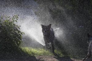 Herding dogs at play in water by Zandria Muench Beraldo