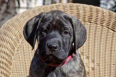 Mastiff puppy looking at you, California, USA