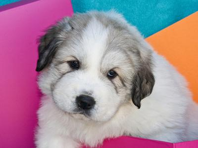 Portrait of a Great Pyrenees Puppy with Colorful Background, California, USA