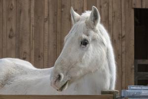 Portrait of a White Horse by Zandria Muench Beraldo