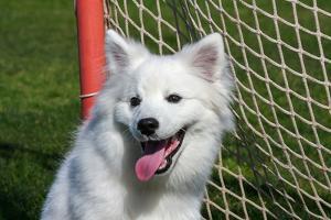 Portrait of an American Eskimo Puppy by Zandria Muench Beraldo