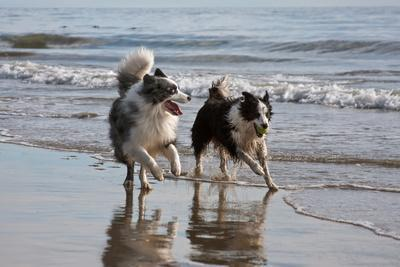 Two Border Collies Running on Beach