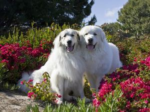 Two Great Pyrenees Together Among Red Flowers, California, USA by Zandria Muench Beraldo