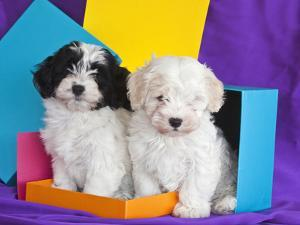 Two Havanese Puppies Sitting Together Surrounded by Colors, California, USA by Zandria Muench Beraldo