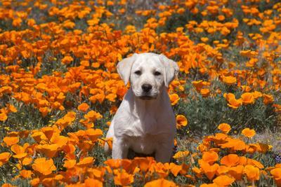 Yellow Labrador Retriever puppy in a field of poppies