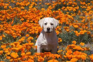 Yellow Labrador Retriever puppy in a field of poppies by Zandria Muench Beraldo