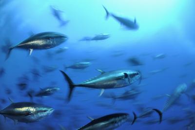 Atlantic Bluefin Tuna (Thunnus Thynnus) Shoal, Captive, Malta, Mediteranean, May 2009 by Zankl