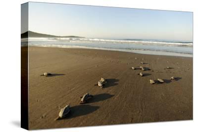 Newly Hatched Loggerhead Turtles (Caretta Caretta) Heading Down Beach to the Sea, Dalyan, Turkey