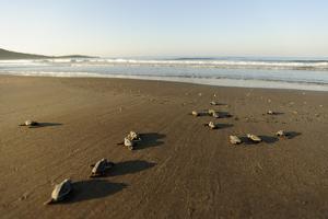 Newly Hatched Loggerhead Turtles (Caretta Caretta) Heading Down Beach to the Sea, Dalyan, Turkey by Zankl