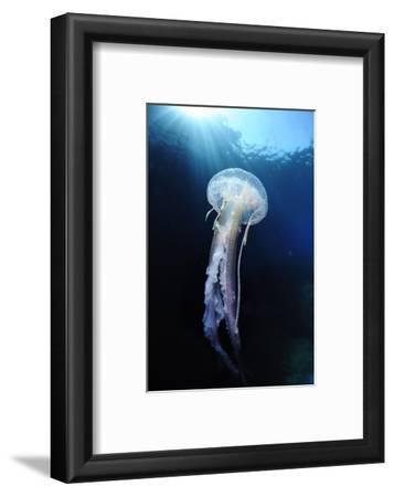Pelagia Stinger - Common Jellyfish (Pelagia Noctiluca) Malta, Mediteranean, May 2009