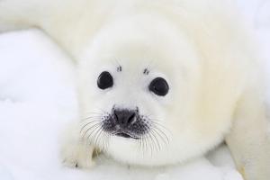 Baby Harp Seal Pup On Ice Of The White Sea by zanskar