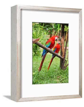 Parrots: Scarlet Macaw (Ara Macao)