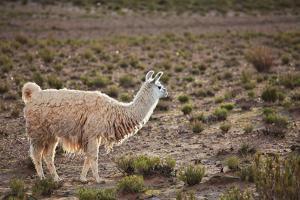 South American Llama by zanskar