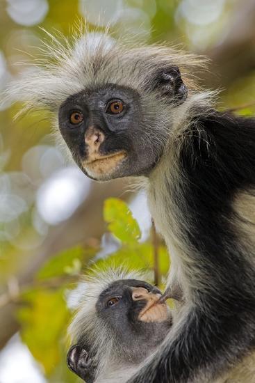 Zanzibar Red Colobus Monkeys-Tony Camacho-Photographic Print