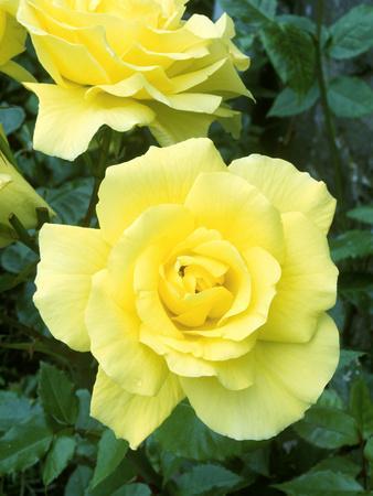 Rosa Golden Showers (Climbing Rose), Yellow Flower