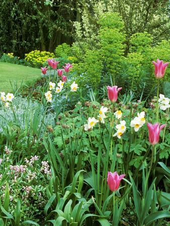 "Spring Border with Tulipa ""China Pink"""