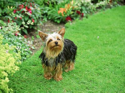 Yorkshire Terrier in Garden Setting