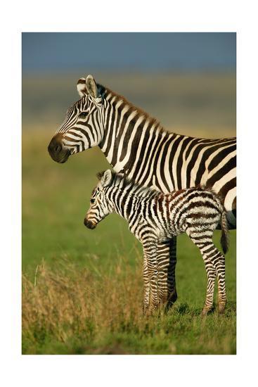 Zebra and Baby-Lantern Press-Art Print