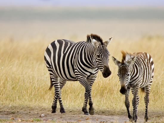 Zebra and Juvenile Zebra on the Maasai Mara, Kenya-Joe Restuccia III-Photographic Print