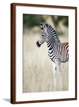 Zebra Baby-Richard Du Toit-Framed Photographic Print