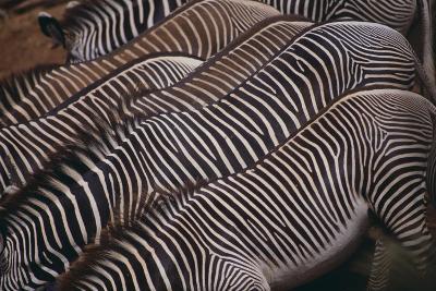 Zebra Backs-DLILLC-Photographic Print