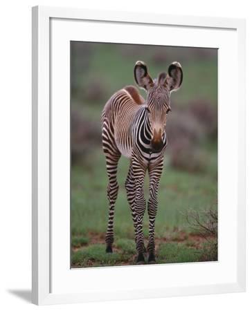 Zebra Calf--Framed Photographic Print