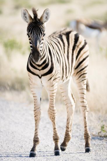 Zebra Colt II-Beth Wold-Photographic Print