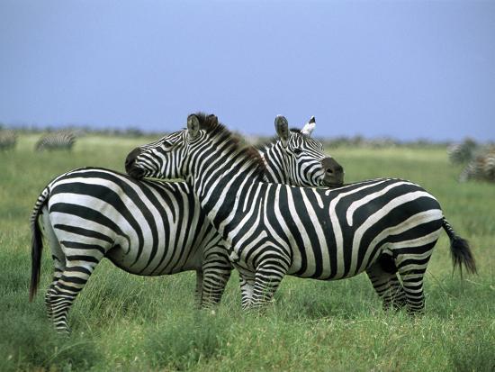 Zebra (Equus Burchellii) Pair Resting, Serengeti National Park, Tanzania-Konrad Wothe-Photographic Print