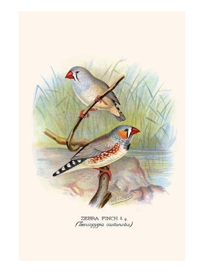 Zebra Finch-F^w^ Frohawk-Art Print