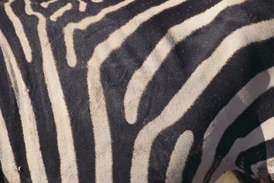 Zebra Flank-DLILLC-Photographic Print