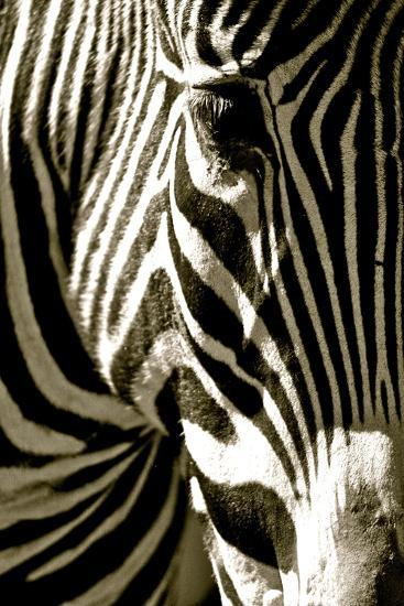 Zebra Head-Courtney Lawhorn-Photographic Print