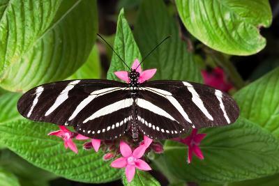 Zebra Heliconia Zebra Longwing, Heliconius Charitonius-Susan Degginger-Photographic Print