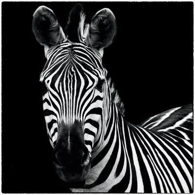https://imgc.artprintimages.com/img/print/zebra-ii-square_u-l-psv5er0.jpg?p=0