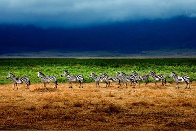 Zebra in a Row-Howard Ruby-Photographic Print