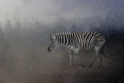 Zebra in a Snow Storm-Jai Johnson-Giclee Print