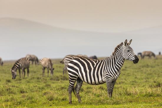 Zebra in National Park. Africa, Kenya-Curioso Travel Photography-Photographic Print