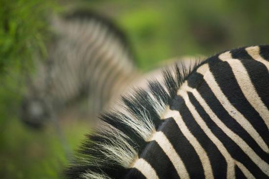 Zebra in Pilanesberg National Park-Jon Hicks-Photographic Print